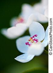 fleur apple, feuilles, arbre, arrière-plan vert, fleurs blanches