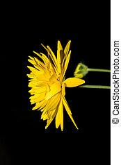 fleur, arrière-plan noir, jaune