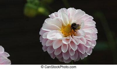 fleur, assied, bourdon