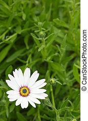 fleur blanche, conception, gabarit, pâquerette