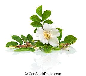 fleur blanche, hanches, fond