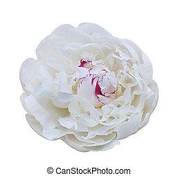 fleur blanche, pivoine