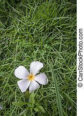 fleur blanche, sur, herbe