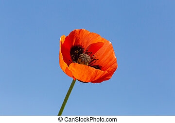 fleur bleue, ciel, contre, pavot, rouges