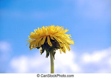 fleur bleue, ciel, fond, pissenlit