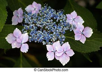 fleur bleue, juste, hortensia, lacecap, début