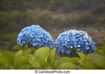 fleur bleue, tonalité, hortensia, arrière-plan vert