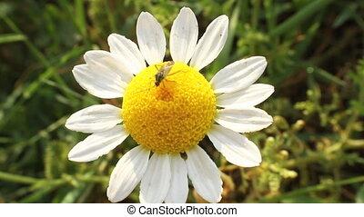 fleur, bogue