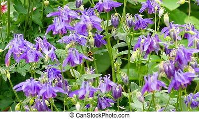 fleur, bourdon, aquilegia