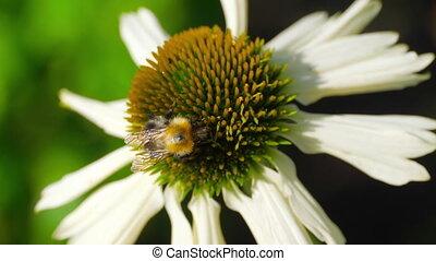 fleur, bourdon, echinacea