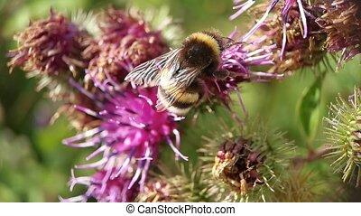 fleur, bourdon, nectar, collects, mouches, brun
