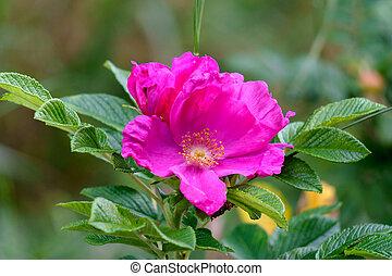 fleur, branche, rose, garden., rose, sauvage