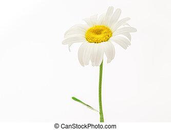 fleur, camomille, une