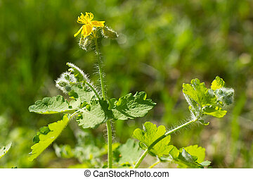 fleur, celandine