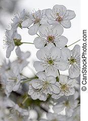 fleur, cerise, blanc, branches, fond