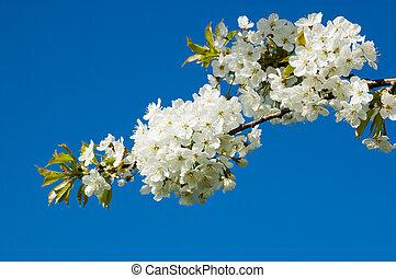 fleur, cerise, branche fleurissante