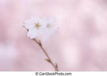 fleur, cerise, branches