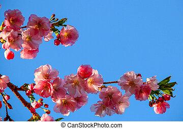 fleur, cerise, ciel bleu, contre