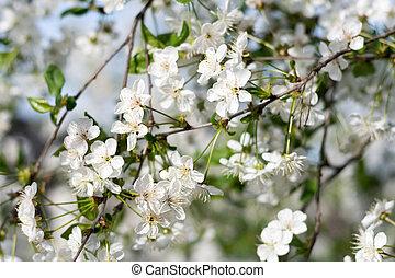 fleur, cerise, copie, branches, espace