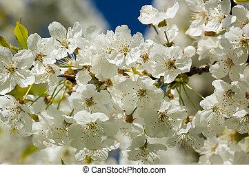 fleur, cerise, fleurir