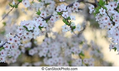 fleur, cerise, levers de soleil, panorama