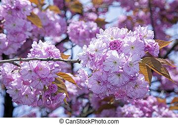 fleur, cerise