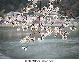 fleur, cerise, rivière, branches, couverture