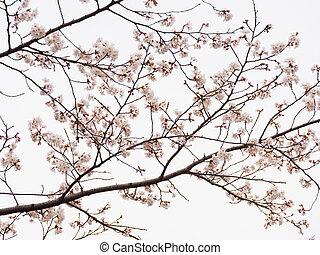 fleur, cerise, yoshino, branches