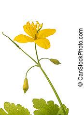 fleur, (chelidonium, celandine, majus)