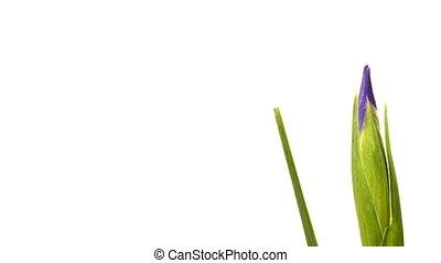 fleur, chronocinématographie, pourpre, iris