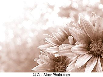fleur, chrysanthème