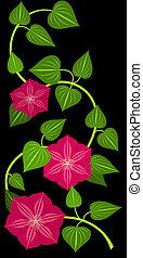fleur, clématite, isolé, arrière-plan., rouge noir