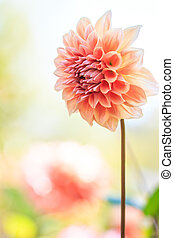 fleur, coloré, texture, fond, orange, dahlia