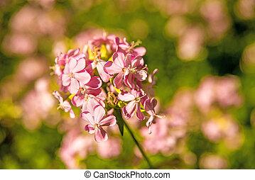 fleur, commun, soapwort
