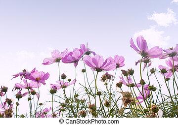 fleur cosmos, fond
