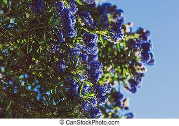 """fleur, coup, entiers, arbre, bleu, """"ceanothus"""", pacifique, fleurs"""