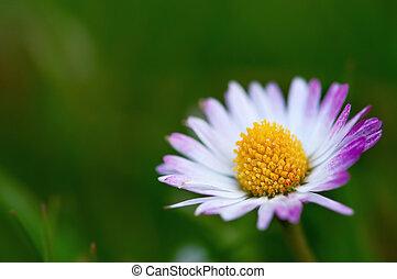 fleur, coup, macro, une, unique, pâquerette