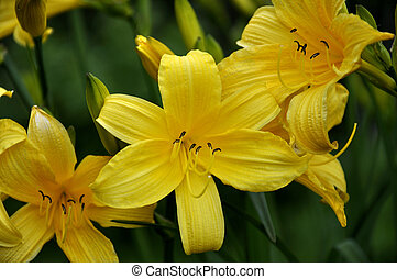 fleur, day-lily