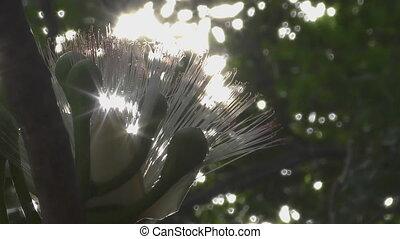 Images photographiques de barringtonia 76 photographies et images libres de droits de - Fleur de poison ...