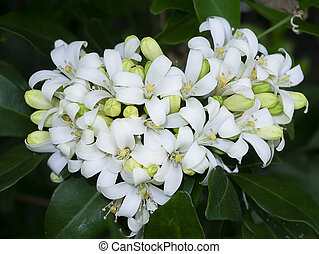 fleur, exotica, satin, jessamine, orange, arbre., bois, ...