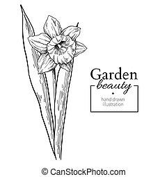 fleur, f, drawing., feuilles, jonquille, main, vecteur, dessiné, gravé