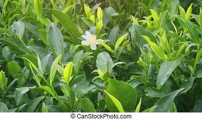 fleur, ferme, solitaire, buissons, thé, entre, sri lankan