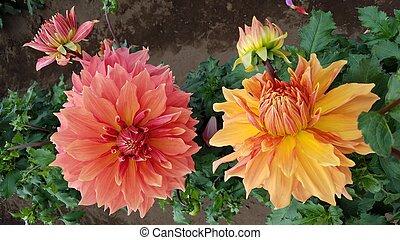 fleur, feuilles, jaune, pétales, vert, orange, dahlia
