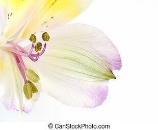 fleur, fin, image, alstroemerias, haut