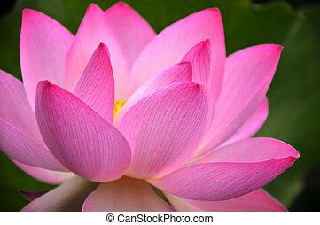 fleur, fleur rose, lotus