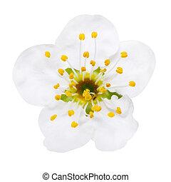 fleur, fleurs, prune, blanc, isolé