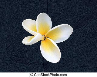 fleur, fond, frangipanier, résumé