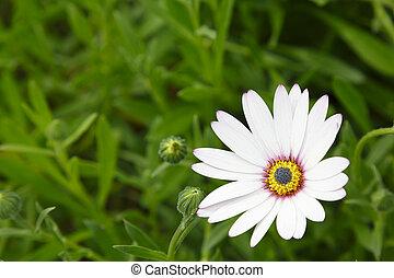 fleur, fond, gabarit, pâquerette