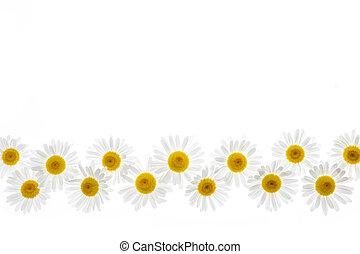 fleur, frontière, pâquerette