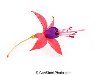 fleur, fuschia